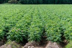 Зеленое поле картошки с заводами в прямых строках Стоковое Изображение RF