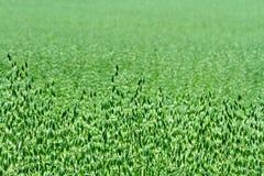 Зеленое поле овса в лете Стоковые Фото