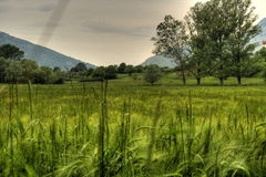 Зеленое поле пшеницы в стране Стоковые Изображения