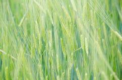 Зеленое поле пшеницы Стоковые Фотографии RF
