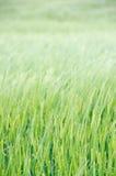 Зеленое поле пшеницы Стоковое Изображение