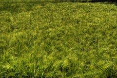 Зеленое поле пшеницы Стоковое Изображение RF