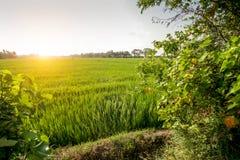 Зеленое поле растущего риса Стоковое фото RF