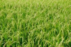 Зеленое поле риса, взгляд рисовых полей в поле Стоковые Изображения RF
