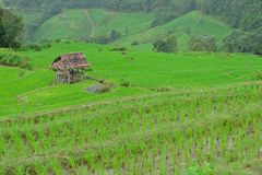 Зеленое поле риса в горе (сфокусируйте хату) Стоковые Изображения RF