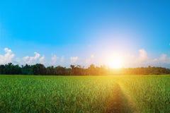 Зеленое поле риса с коттеджем в свете утра - голубом небе стоковая фотография rf