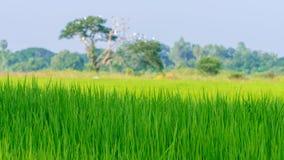 Зеленое поле риса с мягким фокусом большого дерева Стоковое Изображение
