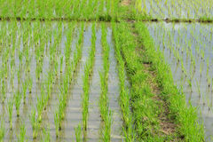 Зеленое поле риса Стоковое Изображение RF
