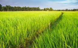 Зеленое поле рисовой посадки в тайской обрабатываемой земле стоковая фотография rf