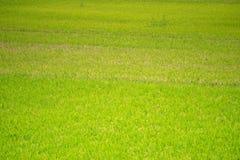 Зеленое поле рисовых полей вокруг сезона сбора стоковое фото
