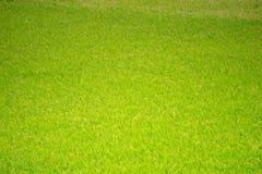 Зеленое поле рисовых полей вокруг сезона сбора стоковая фотография