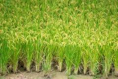 Зеленое поле рисовых полей в Южной Корее вокруг сезона сбора стоковое фото