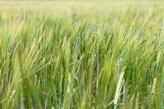 Зеленое поле рожи Стоковые Фотографии RF