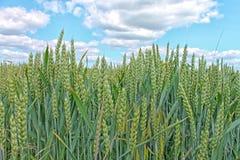 Зеленое поле рож и голубое небо Стоковое Фото