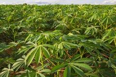 Зеленое поле фермы кассавы Стоковое Изображение