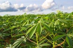 Зеленое поле фермы кассавы Стоковые Изображения RF