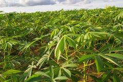 Зеленое поле фермы кассавы Стоковые Фотографии RF