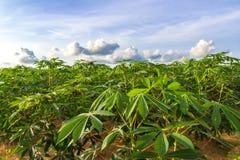 Зеленое поле фермы кассавы Стоковое фото RF