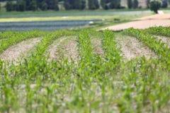 Зеленое поле фермы Стоковое Фото
