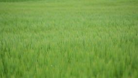 Зеленое пшеничное поле под драматическим облачным небом Молодой расти урожаев пшеницы на аграрном поле Земледелие и производство  видеоматериал