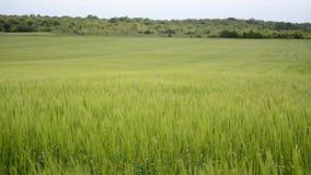 Зеленое пшеничное поле под драматическим облачным небом Молодой расти урожаев пшеницы на аграрном поле Земледелие и производство  сток-видео
