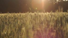 Зеленое пшеничное поле, растущее озимых культур, дело земледелия, национальные богатства видеоматериал