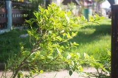 Зеленое растение во времени восхода солнца против предпосылки голубые облака field wispy неба природы зеленого цвета травы белое стоковая фотография rf