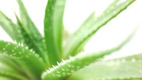 Зеленое растение столетника изолированное на белом конце-вверх предпосылки стоковая фотография rf