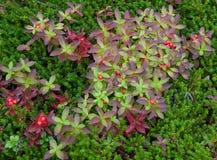 Зеленое растение с красными ягодами Стоковое Изображение RF