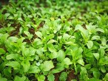 Зеленое растущее овощей в саде стоковая фотография