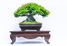 Зеленое старое дерево бонзаев изолированное на белой предпосылке в горшечном растении в форме Стоковые Фото