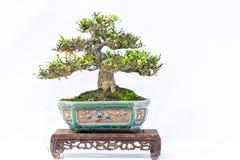 Зеленое старое дерево бонзаев изолированное на белой предпосылке в горшечном растении в форме Стоковая Фотография
