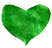 Зеленое сформированное сердце лист Стоковые Фото