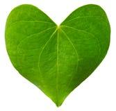 Зеленое сформированное сердце лист Стоковое Фото