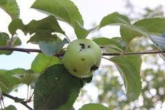 Зеленое яблоко поврежденное червем на ветви стоковые изображения rf