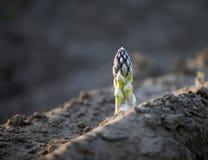 Зеленое aparagus Стоковые Изображения