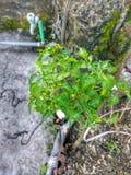 Зеленое cheeli стоковая фотография