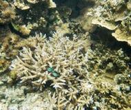 Зеленое Chromis в коралле Staghorn Стоковая Фотография RF