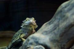 Зеленое guana смотря вас через стекло в зоопарке Киева стоковое изображение rf