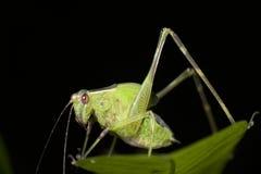 Зеленое katydid в Папуаой-Нов Гвинее Стоковая Фотография RF