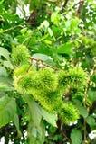 Зеленое lambutan Стоковое Фото