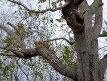 зеленое leguan охлаждает на дереве Стоковое Изображение