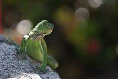 зеленое lizzard Стоковая Фотография
