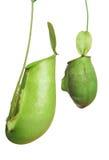 зеленое nepenthe Стоковая Фотография