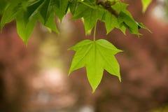 Зеленое pictus Kalopanax листает на ветви в парке Стоковые Фотографии RF