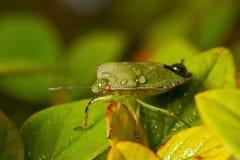 зеленое shieldbug Стоковые Изображения RF