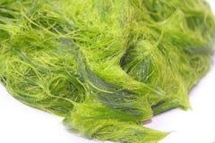 Зеленое spirogyra водоросли свежей воды имеет очень высокий кальций и бета-каротин, используемый для варить, оно популярно в севе стоковые изображения