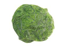Зеленое spirogyra водоросли свежей воды имеет очень высокий кальций и бета-каротин, используемый для варить, оно популярно в севе стоковые фотографии rf