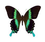 зеленое swallowtail стоковая фотография