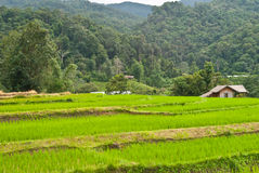 Зеленое Terraced поле риса. Стоковое Изображение